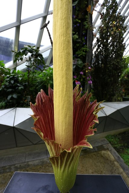 1-Amorphophallus John Tan Closeup